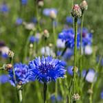 Blue cornflowers growing in a sunny field